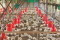 Poultry Farm. Royalty Free Stock Photo