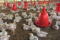Poultry Farm-2. Royalty Free Stock Photo