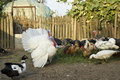 Poultry farm Royalty Free Stock Photo