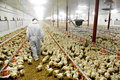 Poultry farm and a veterinary farmer walks inside Stock Photo