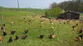 Poultry farming in Brueil en Vexin Royalty Free Stock Photos