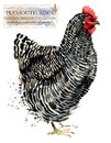 Poultry farming. Chicken breeds series. domestic farm bird Royalty Free Stock Photo