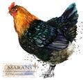 Poultry farming. Chicken breeds series. domestic farm bird