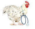 Poultry health and veterinary care chicken wearing a stethoscope isolated on white background Royalty Free Stock Photography