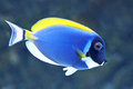 Powder blue surgeonfish acanthurus leucosternon swimming in its natural habitat Royalty Free Stock Images