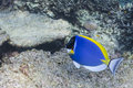Powder blue tang Royalty Free Stock Photography