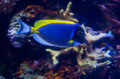 Powder blue tang in a coral reef Stock Photography
