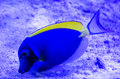 Powder blue tang in a coral reef Stock Photos