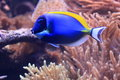 Powder blue tang in tropical water Stock Photography