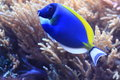 Powderblue surgeonfish also known as powder blue tang in water Royalty Free Stock Photo
