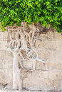 Power of nature lust for life force living tree with intertwined roots growing out the ancient wall Royalty Free Stock Photography