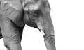 Powerful black and white elephant portrait Royalty Free Stock Photos