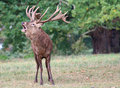 Powerful roaring Red deer stag.(Cervus elaphus) Royalty Free Stock Photo