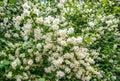 Аpple Tree Flowers Bloom