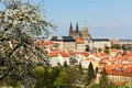 Prague castle blossoming apple tree in the background with Stock Image