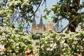 Prague castle blossoming apple tree in the background with focus on blossom Royalty Free Stock Images