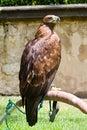 Prague castle eagle Royalty Free Stock Photo