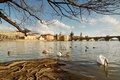 Prague riverfront panorama with swans under the tree charles bridge and st francis of assisi church in in the background Royalty Free Stock Images