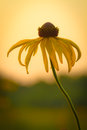 Prairie Coneflower Royalty Free Stock Photo