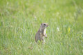 Prairie Dog on Alert Royalty Free Stock Photo