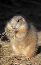 Prairie dog black tailed cynomys ludovicianus Royalty Free Stock Images