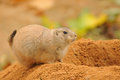 Prairie dog brown sitting on top of sand pile Stock Photography