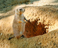 Prairie dog brown standing near his hole Stock Photos