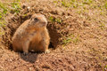 Prairie dog at burrow a cute coming out of its Stock Image