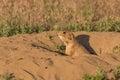 Prairie dog at burrow a cute its Stock Image