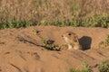 Prairie dog in burrow a cute at its Stock Photos