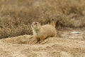 Prairie dog on burrow a at its Stock Photography