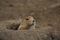 Prairie dog in burrow a poking its head out of its Royalty Free Stock Photo