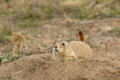 Prairie dog at burrow a sitting up on alert the entrance to its Royalty Free Stock Photos