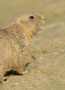 Prairie Dog Calling Royalty Free Stock Photos