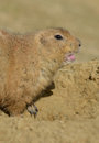 Prairie Dog Calling Stock Photo