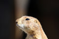 Prairie dog close up of a cynomys Royalty Free Stock Photography