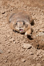 Prairie Dog (Cynomys ludovicanus) Stretches Stock Image
