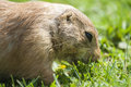 Prairie dog cynomys ludovicianus or eating the grass Royalty Free Stock Image