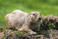 Prairie dog cynomys ludovicianus or on the grass Stock Photo