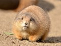 Prairie dog dogs genus cynomys are burrowing rodents native to the grasslands of north america the five different species of Stock Photos