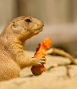 A prairie dog is eating Royalty Free Stock Photos