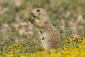 Prairie dog eating flower a in the springtime Stock Photo