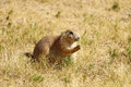 Prairie Dog eating grass Royalty Free Stock Photo