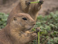 Prairie dog eating a piece of grass Royalty Free Stock Photo