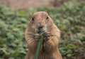 Prairie dog eating a piece of grass Stock Image