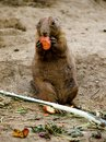 Prairie dog eating a standing and a small piece of carrot Stock Photos