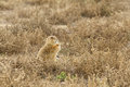 Prairie dog eating weed a sitting up outside its burrow Stock Photography