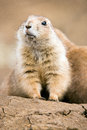 Prairie dog emerging from burrow Royalty Free Stock Photo