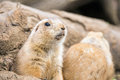 Prairie dog emerging from burrow Royalty Free Stock Image