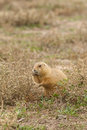 Prairie dog feeding a on some weeds Royalty Free Stock Photo
